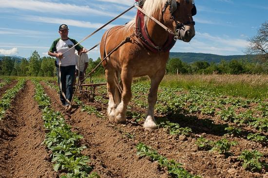 Buttage des patates 24 05 2014 013